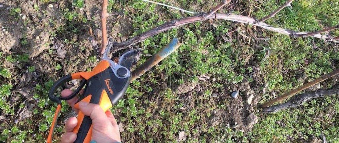 La taille de la vigne – L'opération qui change tout